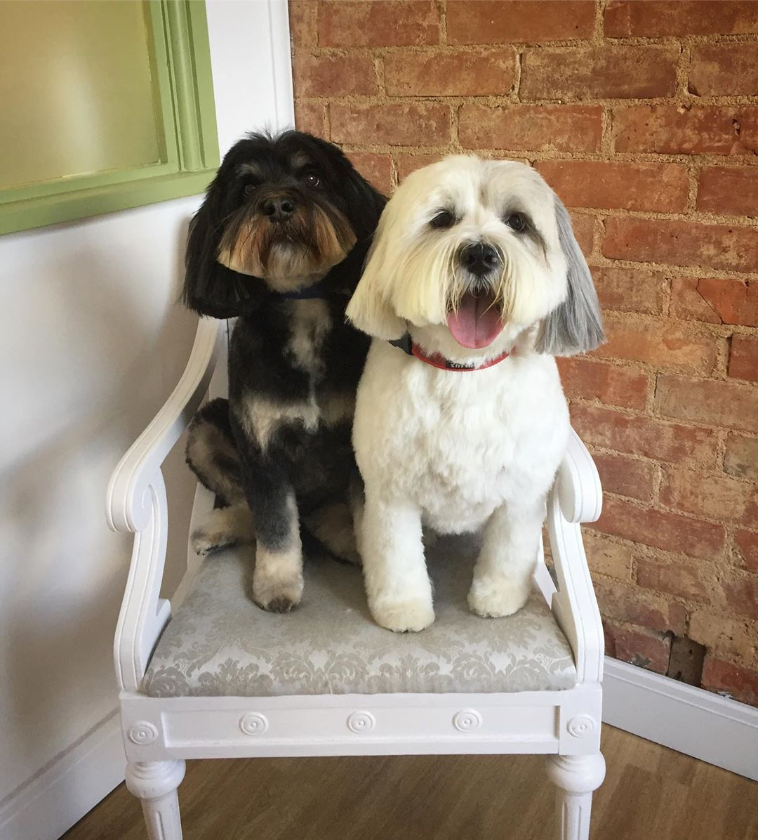 Tibetan Terrier Black And White