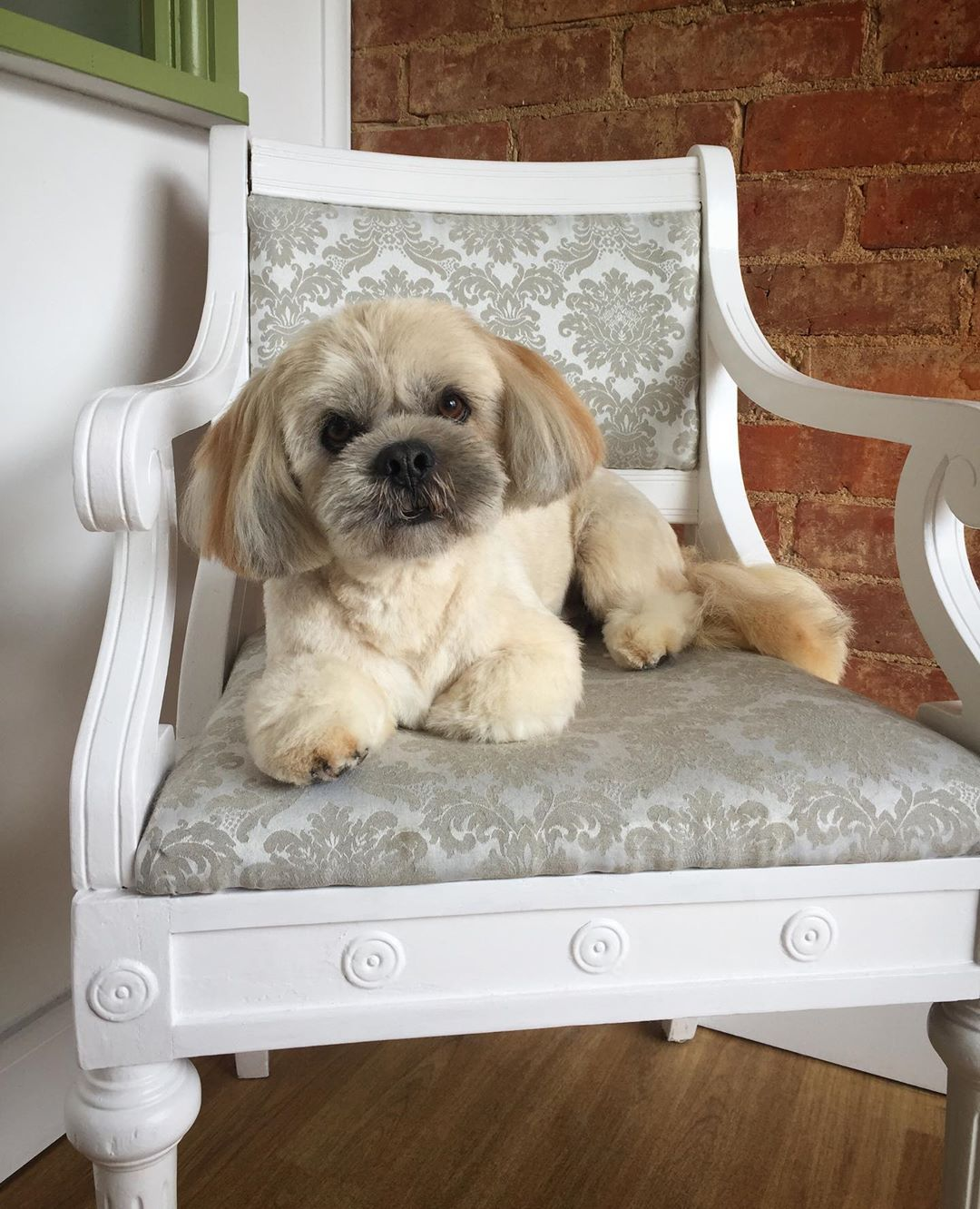 Lhasa Apso Full Groom Treatment