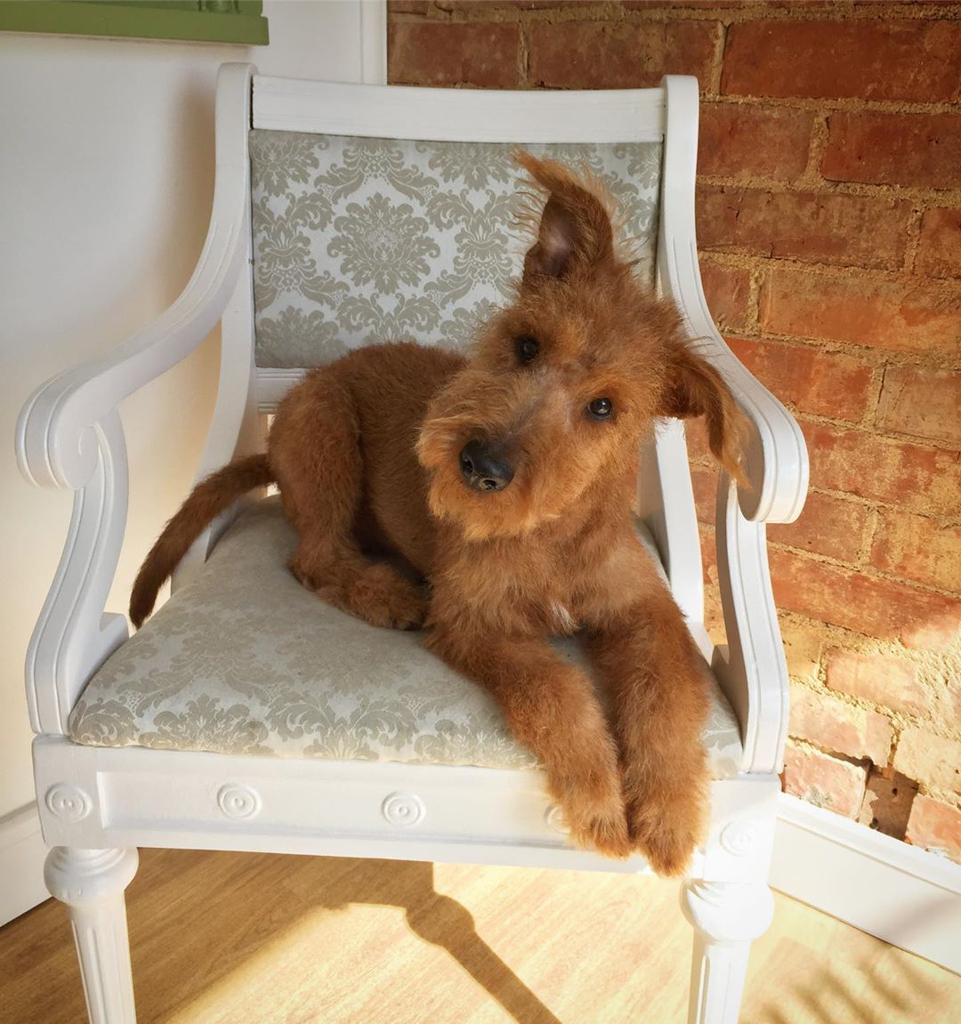 Irish Terrier First Time