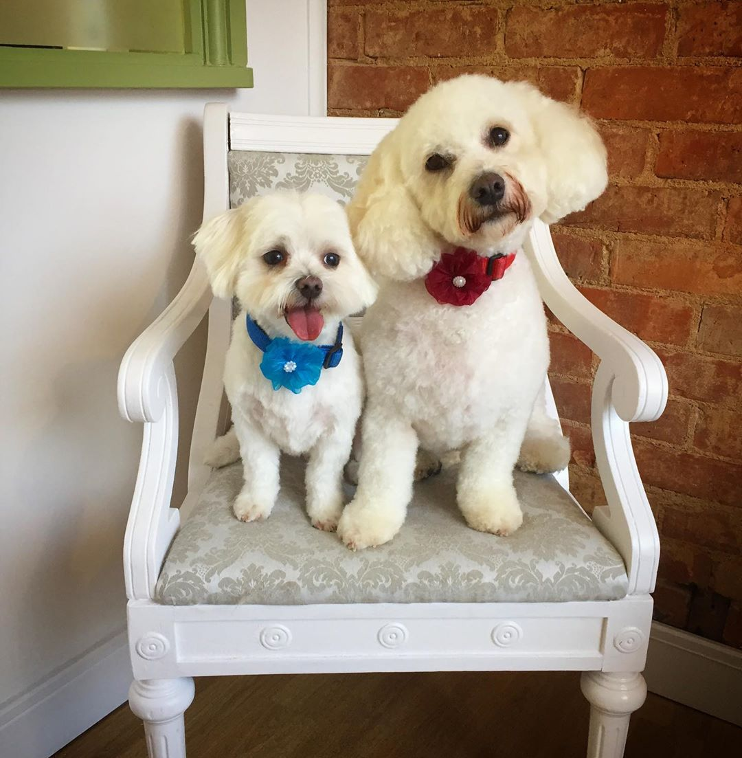 Maltese and Bichon Full Groom