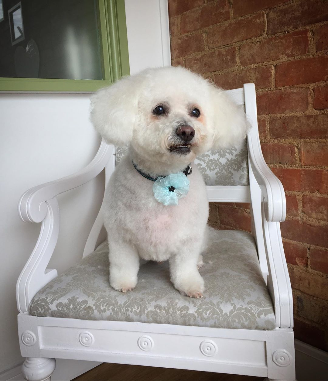 Bichon Frise Full Groom Treatment