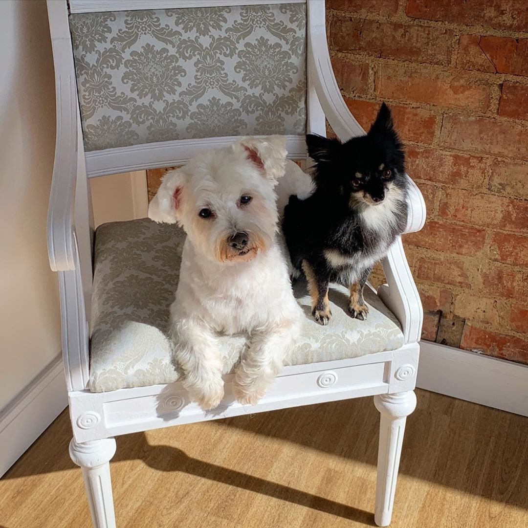 Chihuahua and Westie Full Groom