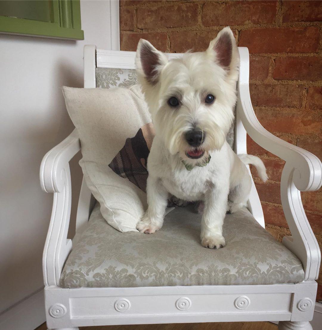 West Highland White Terrier Full Groom