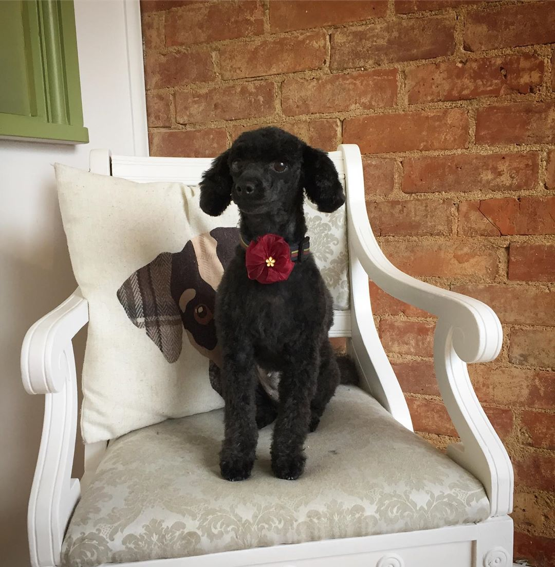 Black Toy Poodle Full Groom Treatment