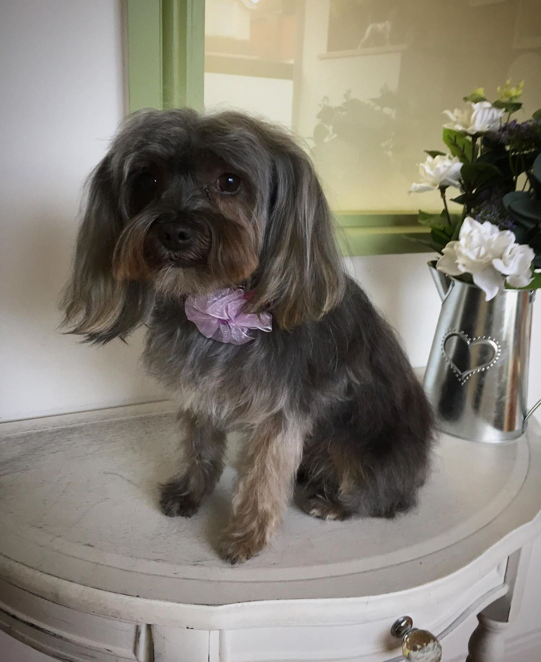 Yorkshire Terrier Full Groom
