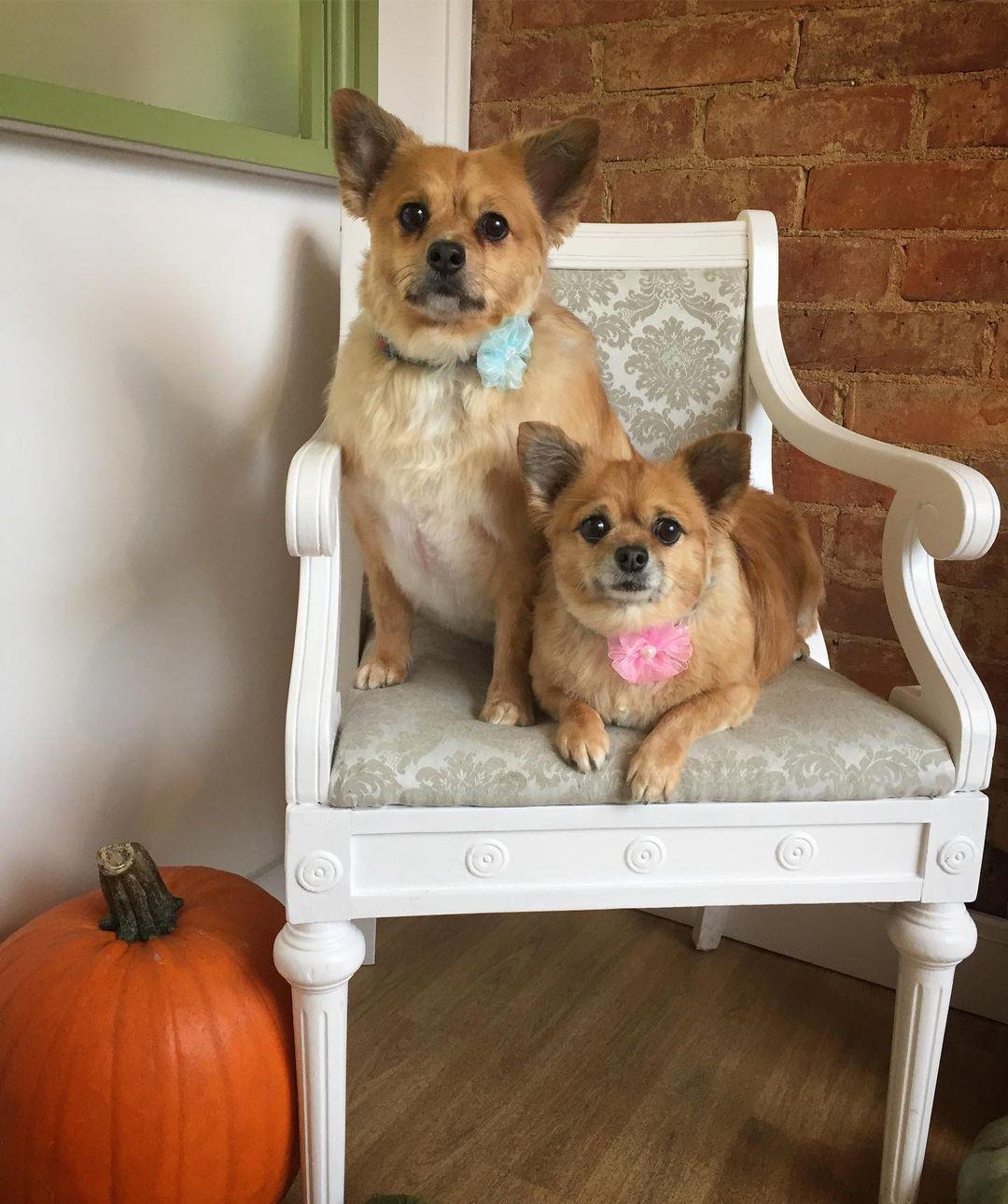 Chihuahuas Full Groomed