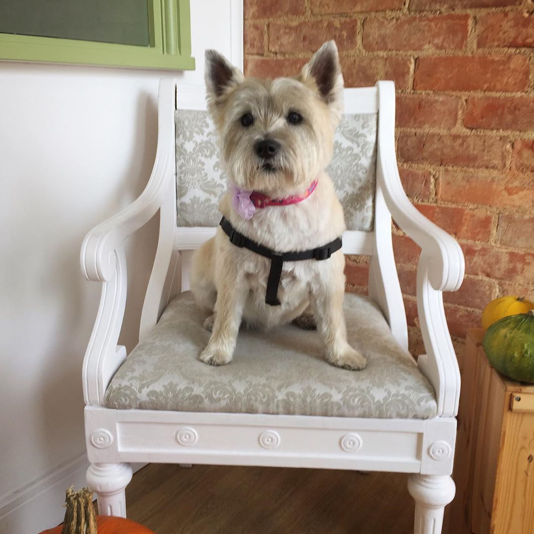 White Cairn Terrier Full Groom