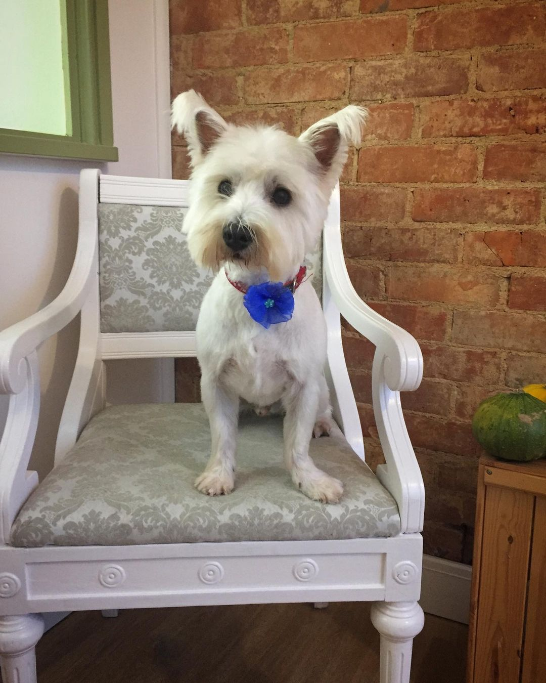 West Highland White Terrier Full Groom