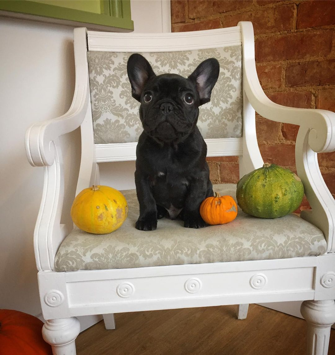 Black French Bulldog Puppy Groom