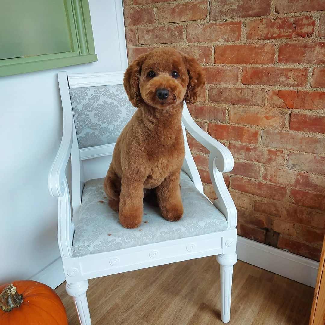 Brown Poodle Upper Hound Deluxe