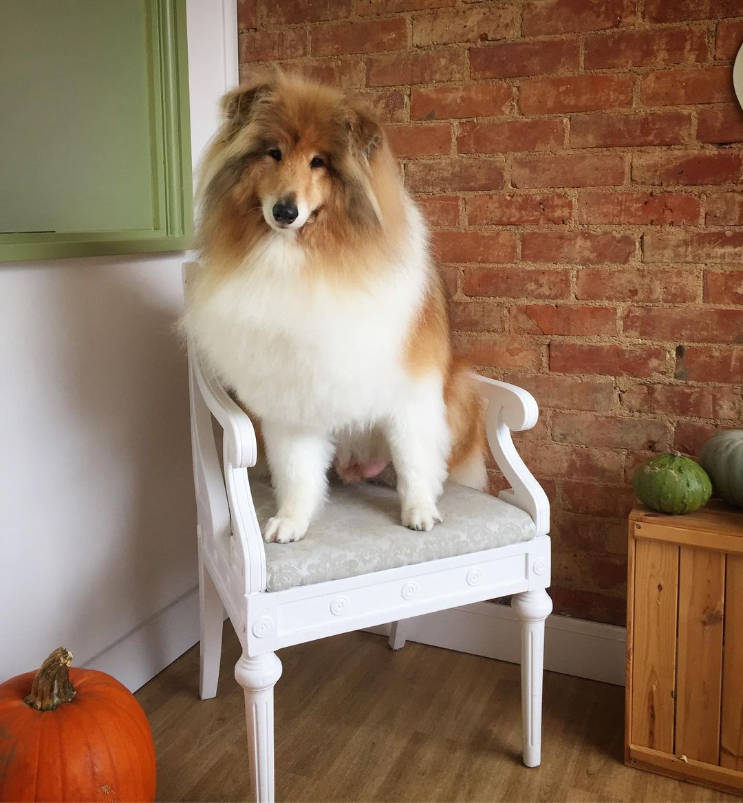 Rough Collie Full Groom Treatment