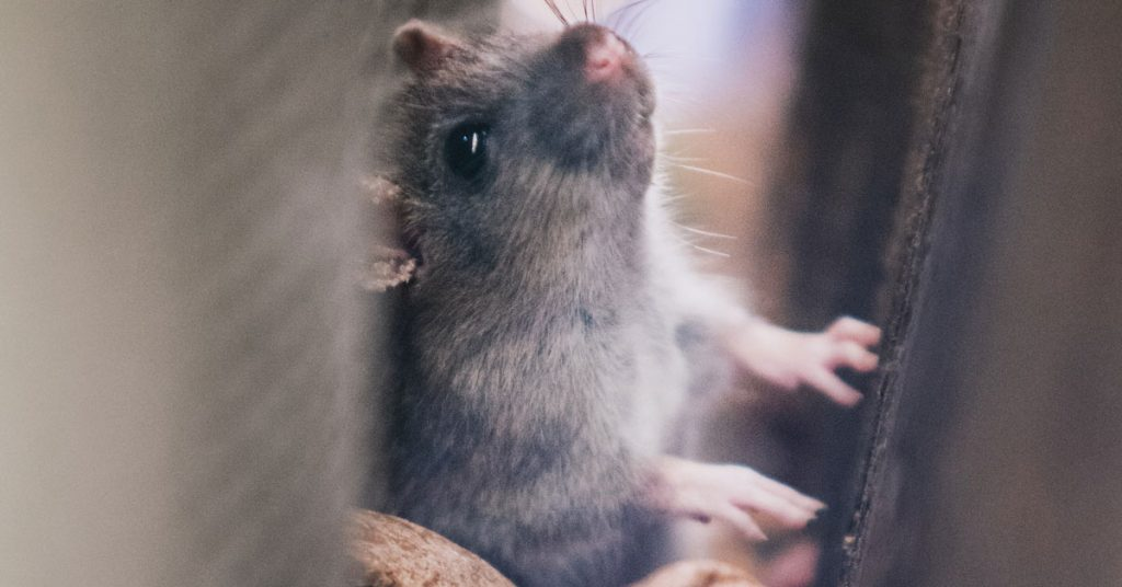 Prevent Mice Getting Into My Home | Pest Control Kings