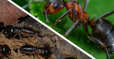 What's The Difference Between Ants and Termites?