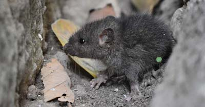 10 Best Ways To Get Rid Of Mice