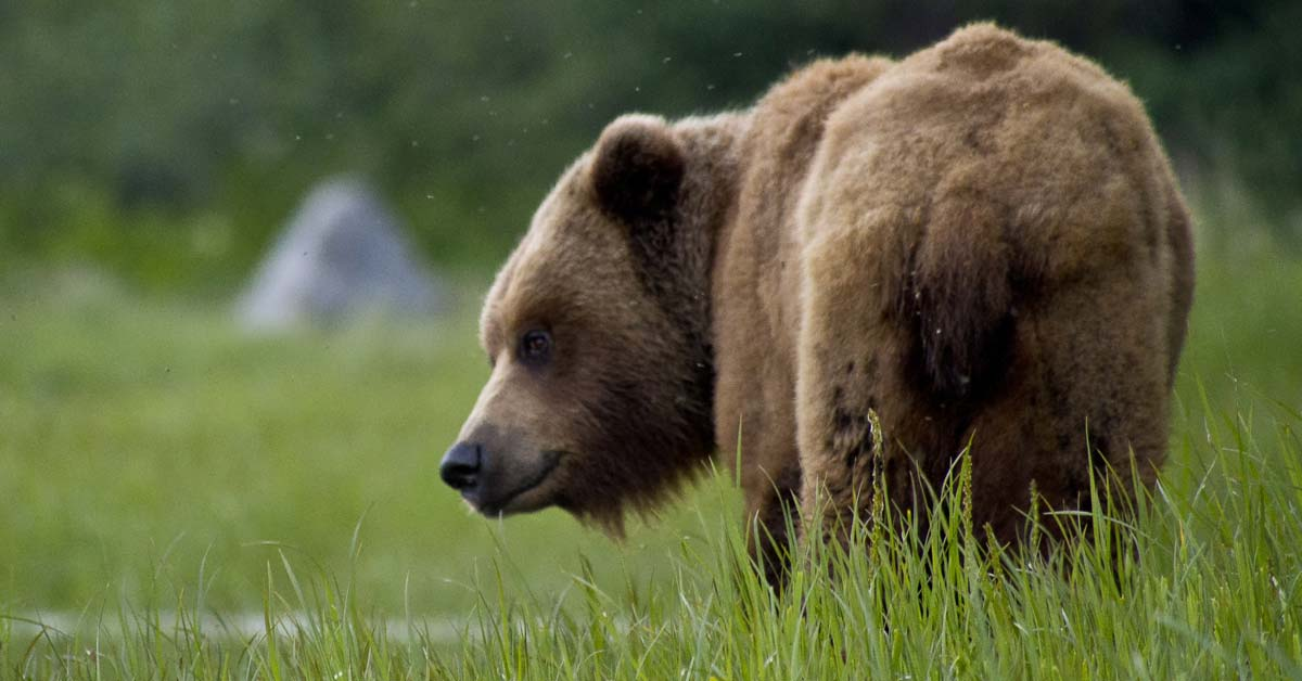 How Much Does A Brown Bear Weigh   Weigh Everything