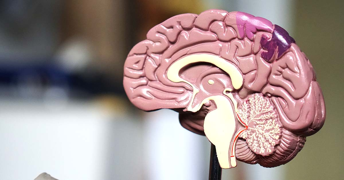 How Much Does The Human Brain Weigh?   Weigh Everything