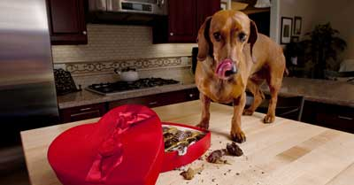 What to Do If Your Dog Eats Chocolate (Plus Home Remedies)