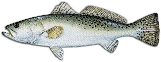 speckled trout icon