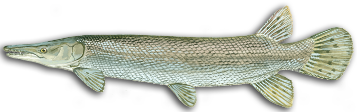 alligator gar icon