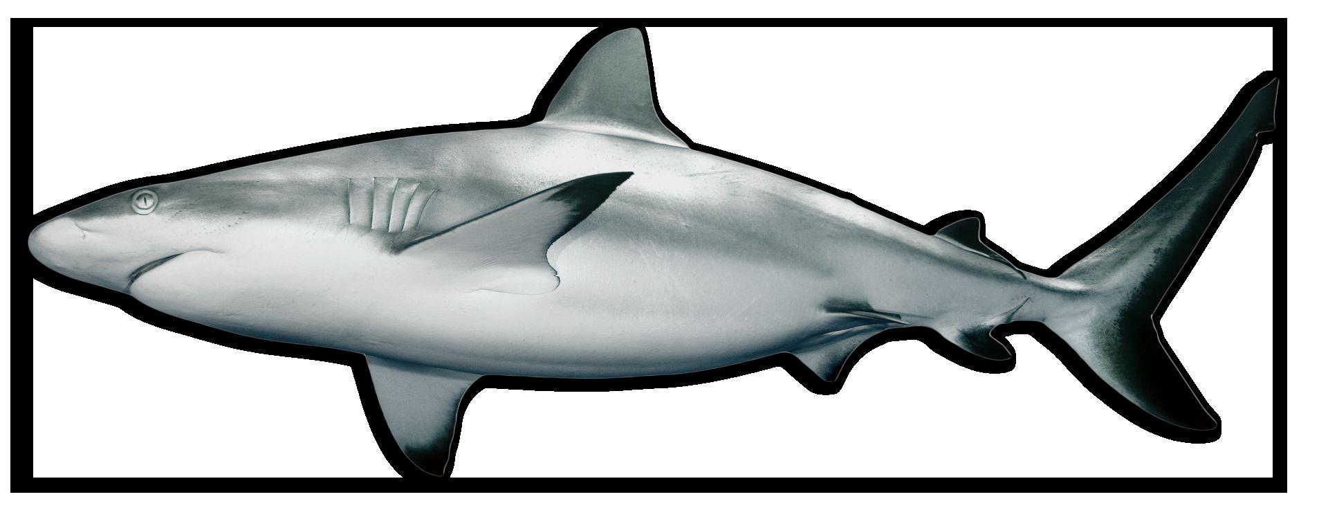 spinner shark icon
