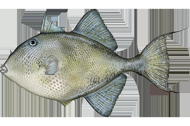 triggerfish icon
