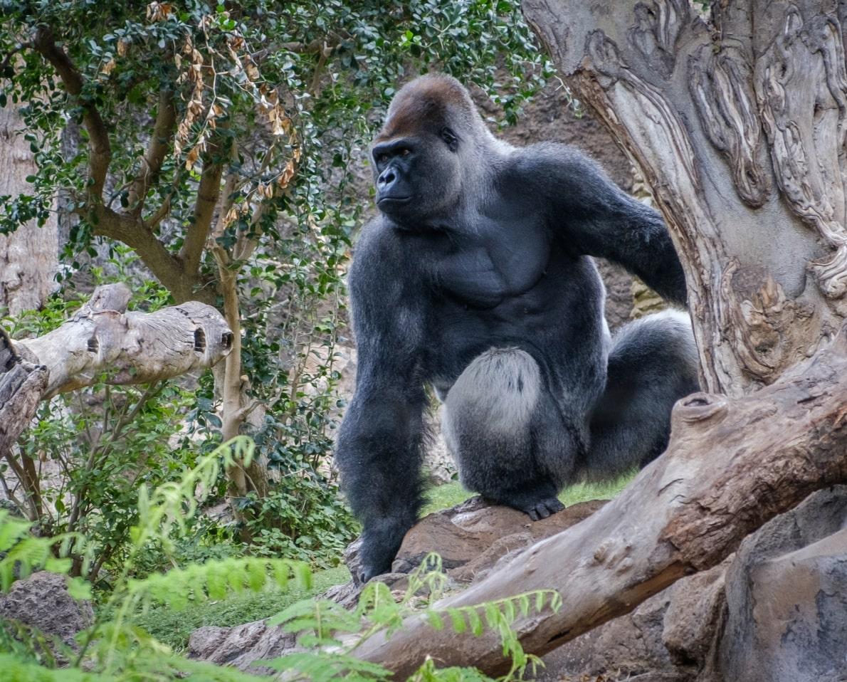Buff Gorilla