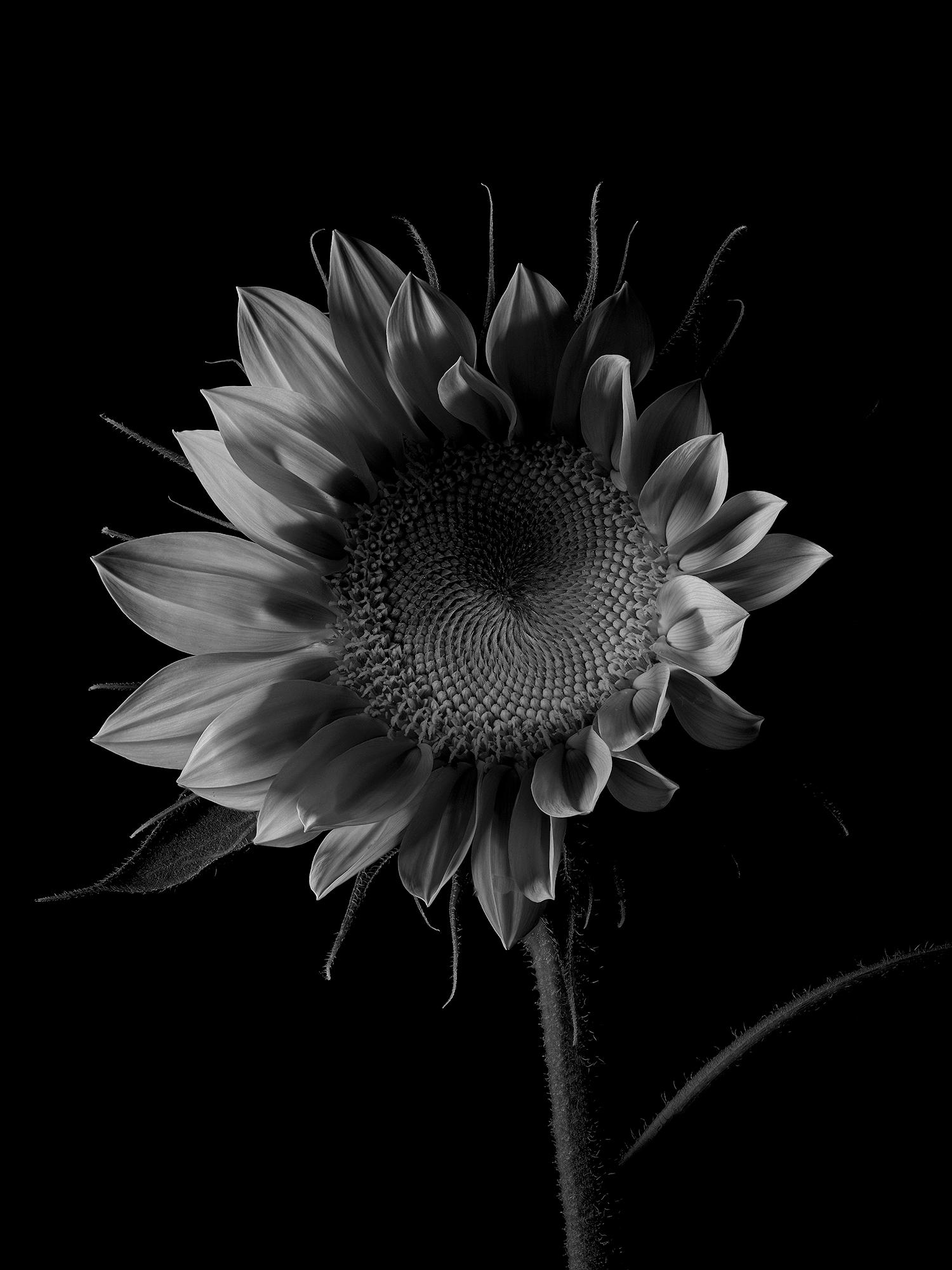 Photo Fine Art Nature Morte Tournesole
