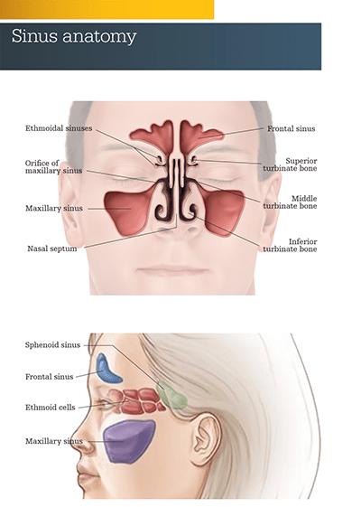 Sinu-nasal anatomy image