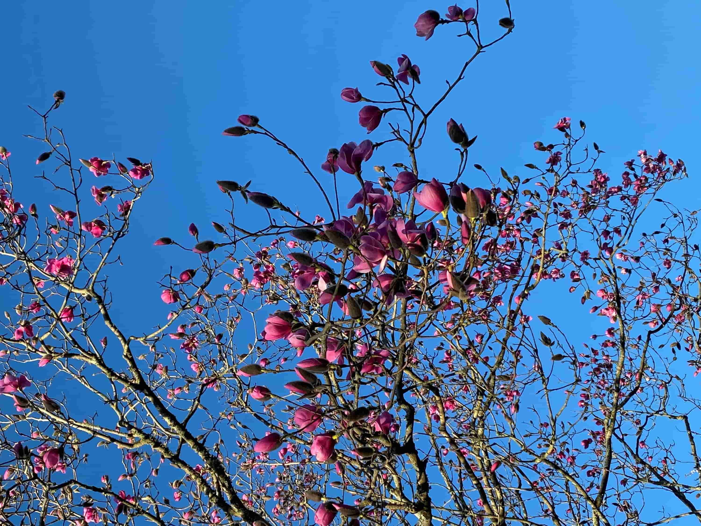 Magnolia Tree Carlyon Bay