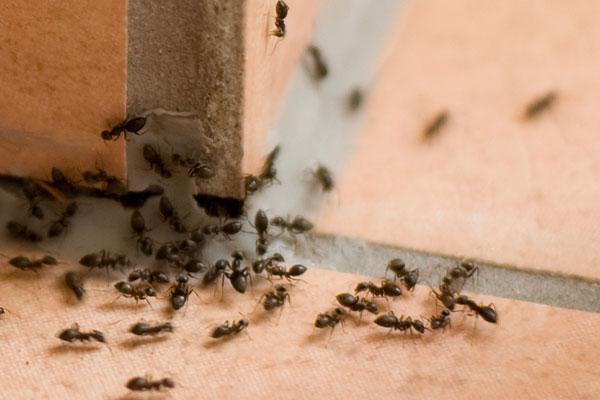 Kitchen Ants Remedy Removal