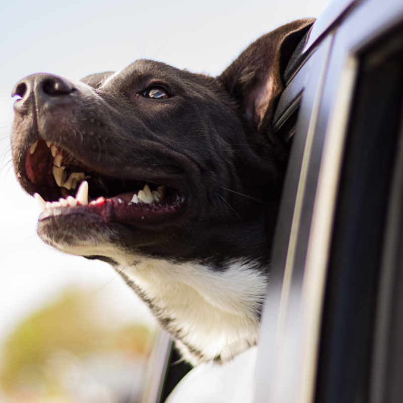 Dog taxi services in Bradford