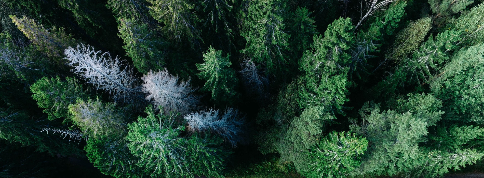 Für die Produktion von Papier wird Holz benötigt, das aus verschiedenen Bäumen und in den unterschiedlichsten Gegenden gewonnen wird. Fichten, Kiefern, Birken, Eukalyptus- und andere Bäume liefern den Rohstoff, aus dem man die Zellulose für die Papierherstellung gewinnt.