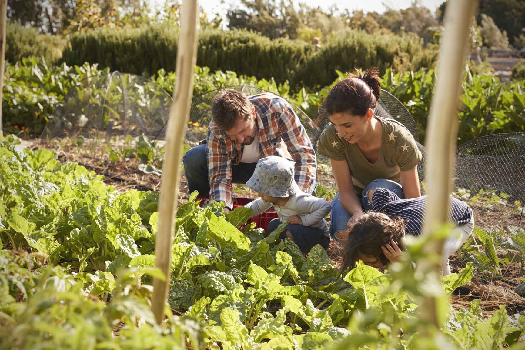 Mother and Father with young children bent low in vegetable garden