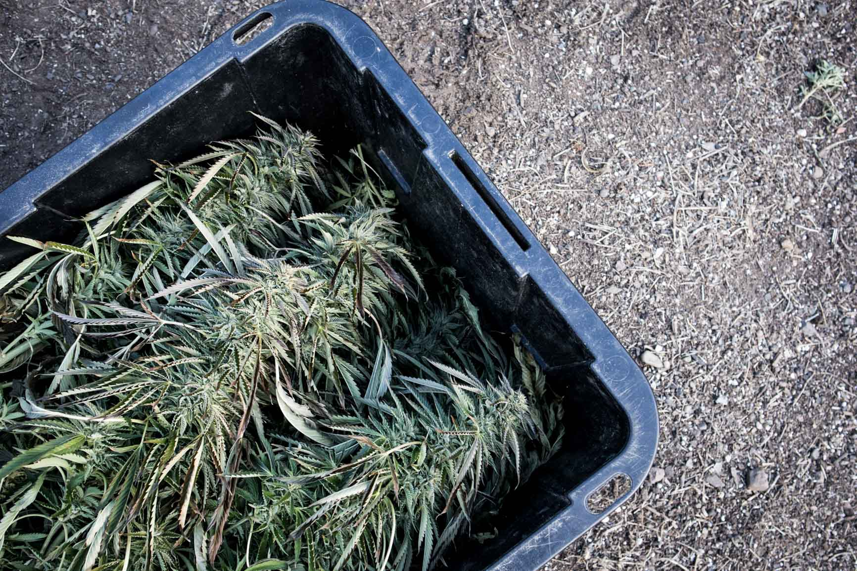 Bucket of hemp plants