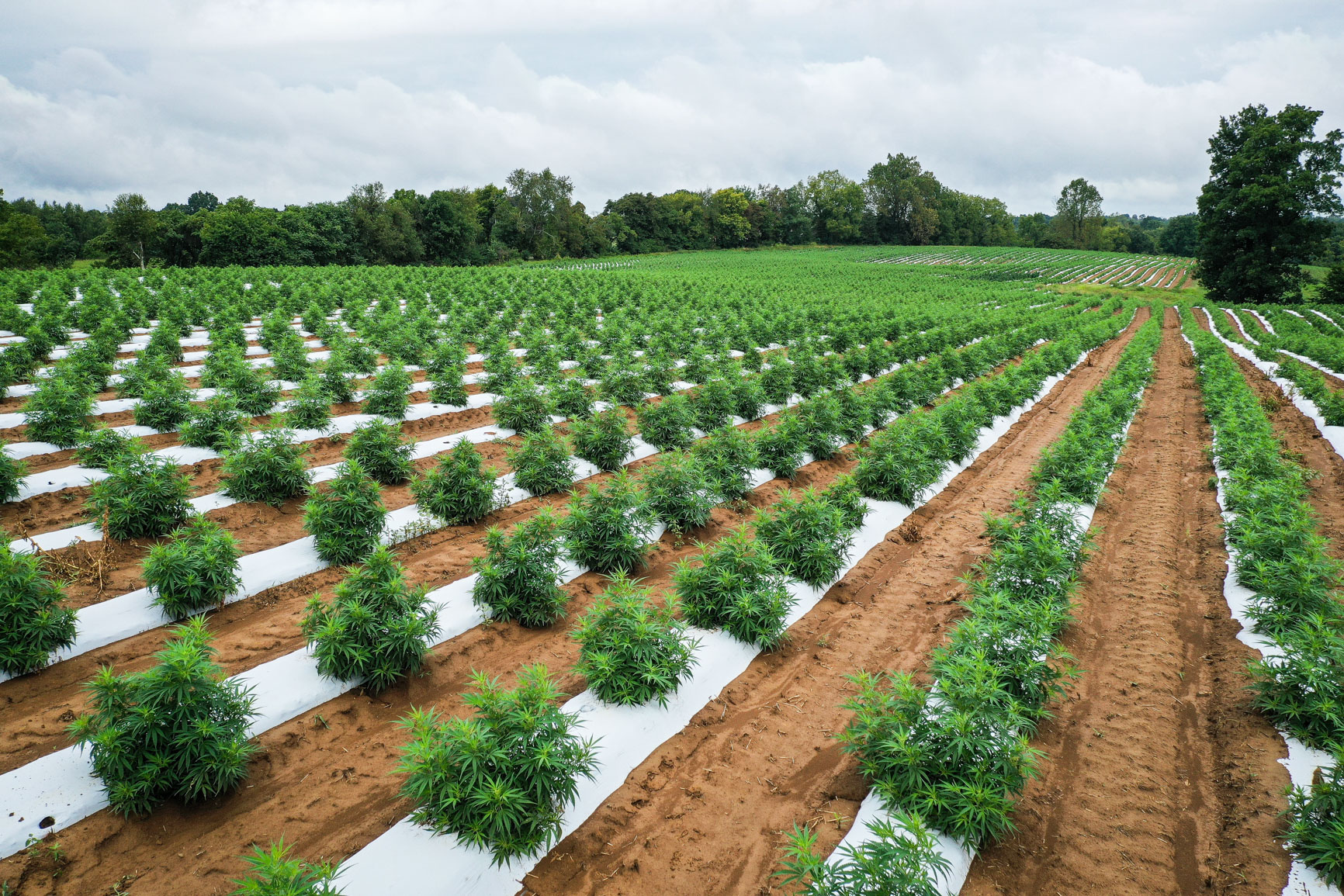 Rows of Hemp plants in field