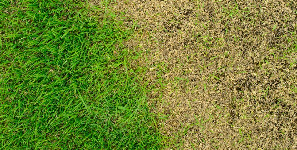 Insecte de pelouse