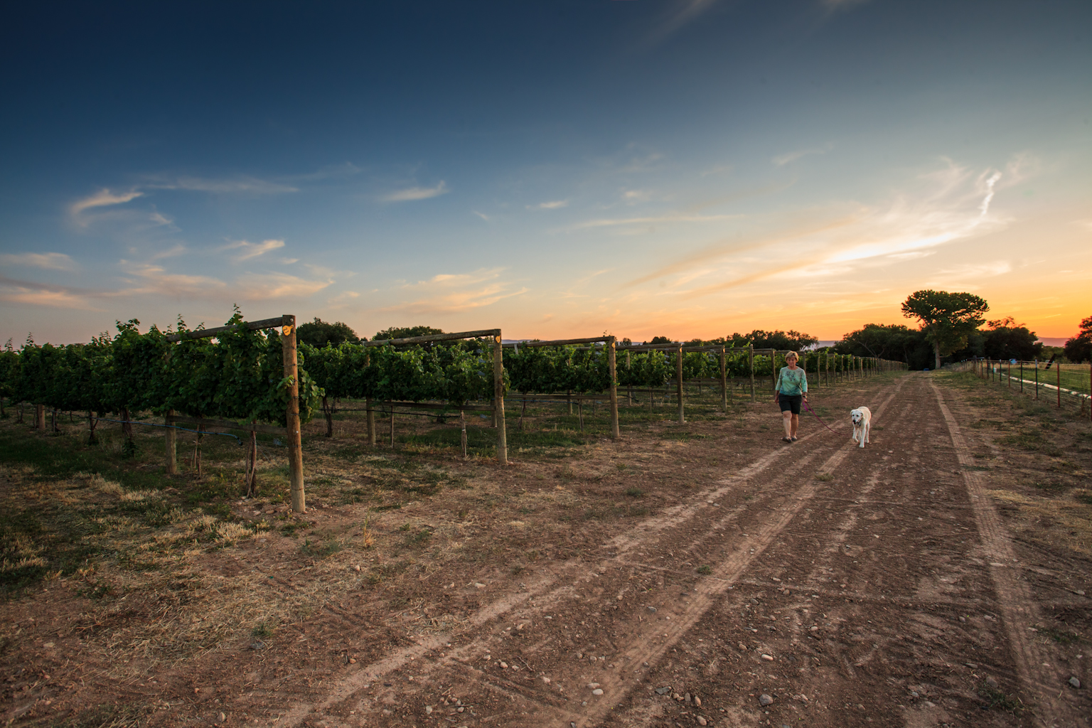 A woman walking her dog in a vineyard at sunset.
