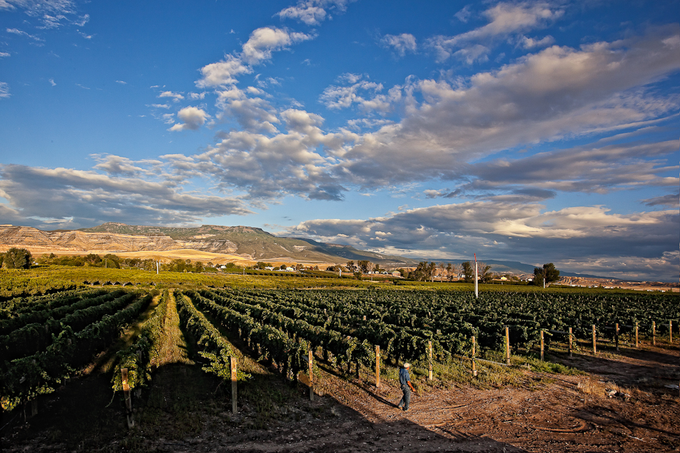 A vineyard showing grapes on vines with blue skies and mountains in the background.