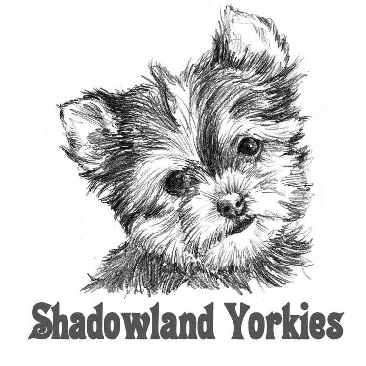 Shadowland Yorkies