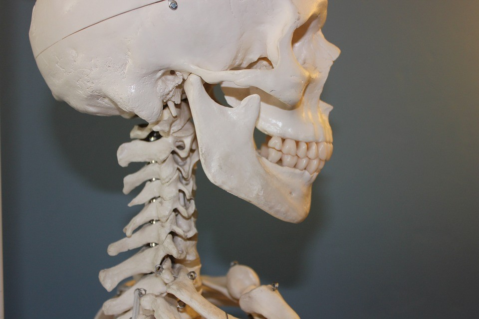 profile of a human skeleton - neck and head
