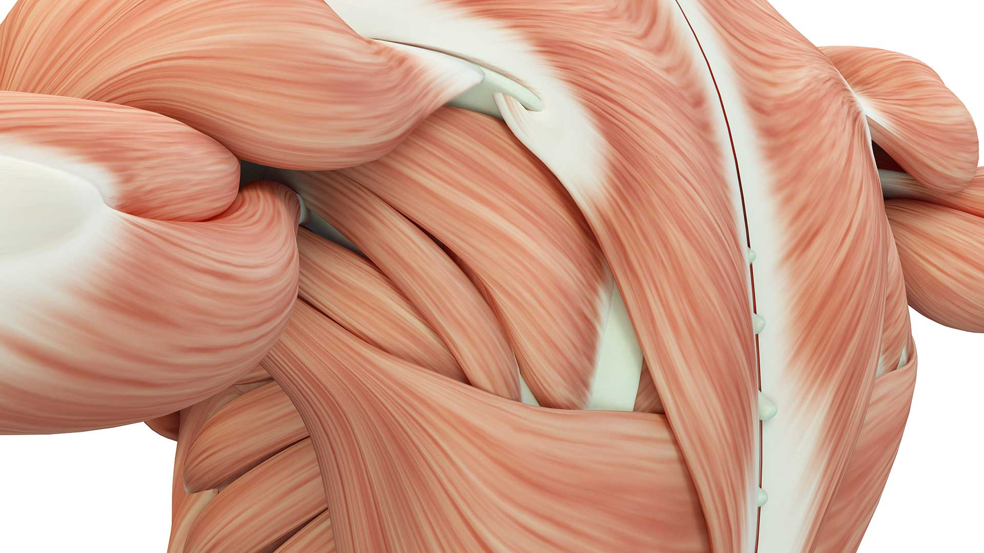 realistic drawing of muscles