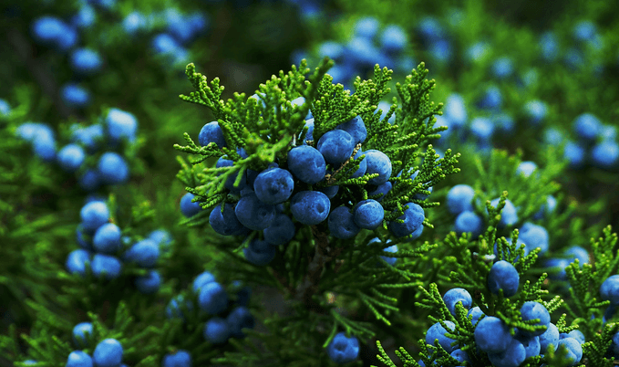 The magical world of juniper, the core ingredient of gin