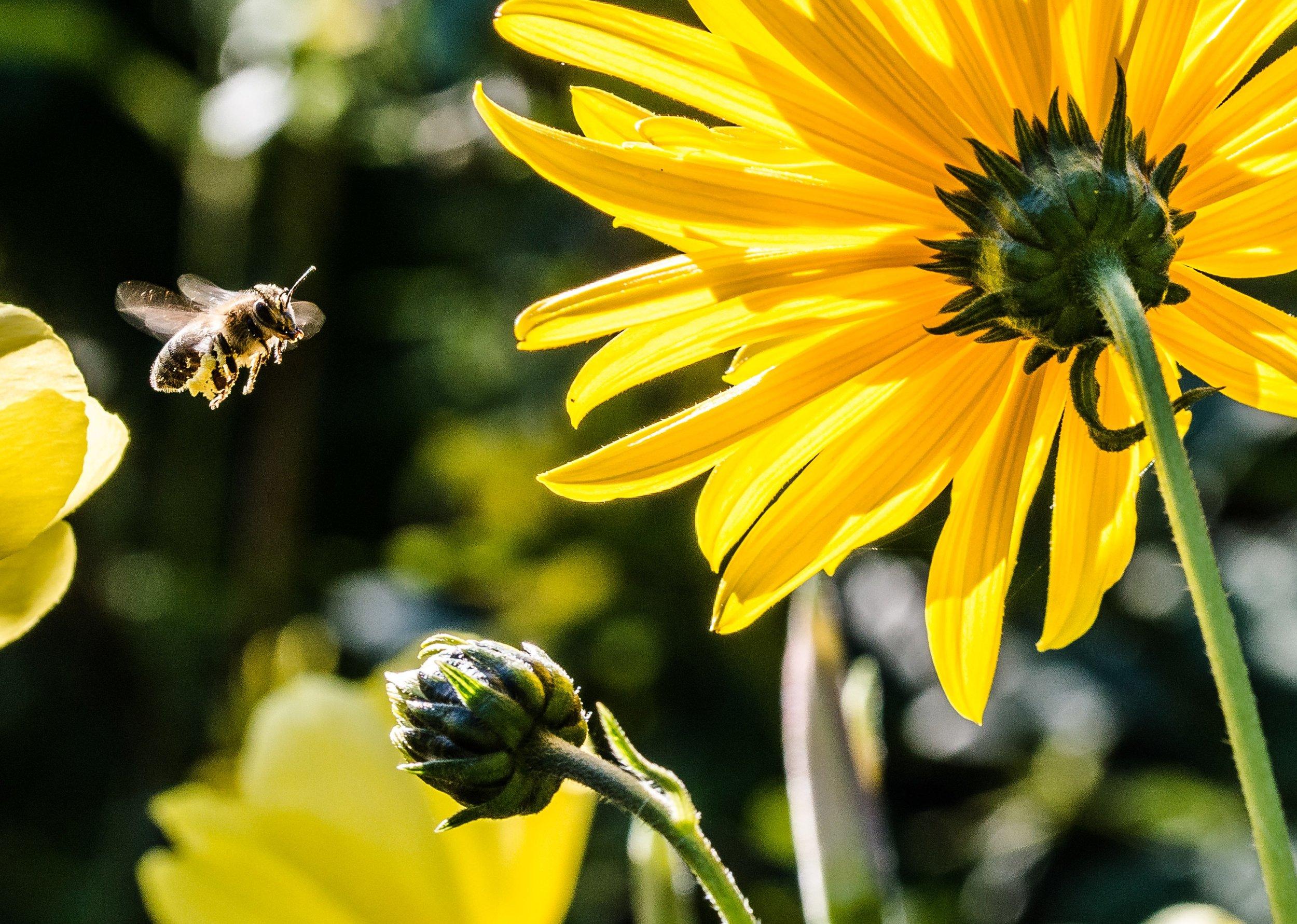 sun-flower-1643794.jpg