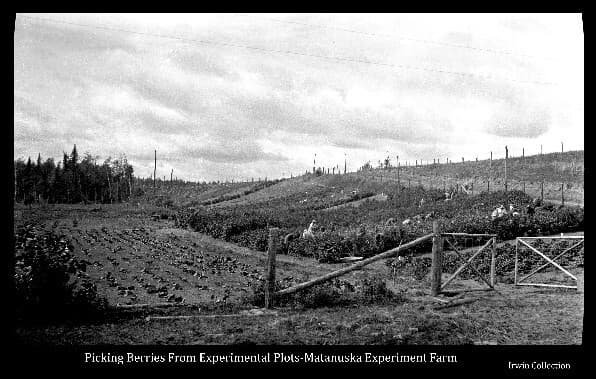 This image shows hillside test plots of various types of berries at the Matanuska Experiment Farm and numerous women in the act of harvesting the berries. Additional test plots are on level ground. The photo is taken from Trunk Road with the roadside fence and gate to the plots in the foreground. Trunk road is shown ascending the hill above the plots.