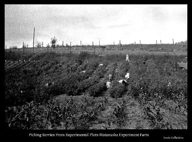 This image shows hillside test plots of various types of berries at the Matanuska Experiment Farm, and numerous women in the act of harvesting the berries. Additional test plots of corn in the foreground.
