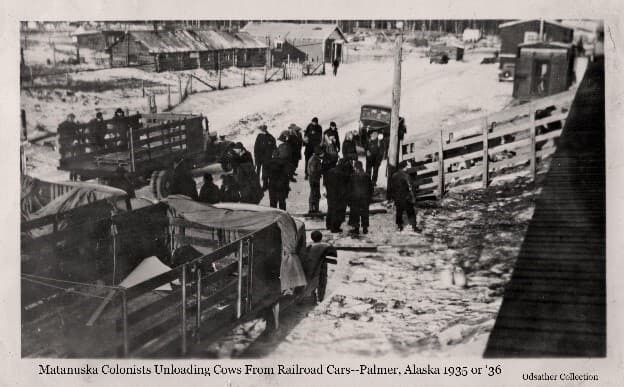 Image is a view from atop a rail car and shows a group of men standing in the street, with their waiting trucks, as cows descend a chute from a railroad car. Three trucks with stock racks are in view, as is a pickup truck. Railroad depot buildings, the Post Office and a log storage building are visible beyond.