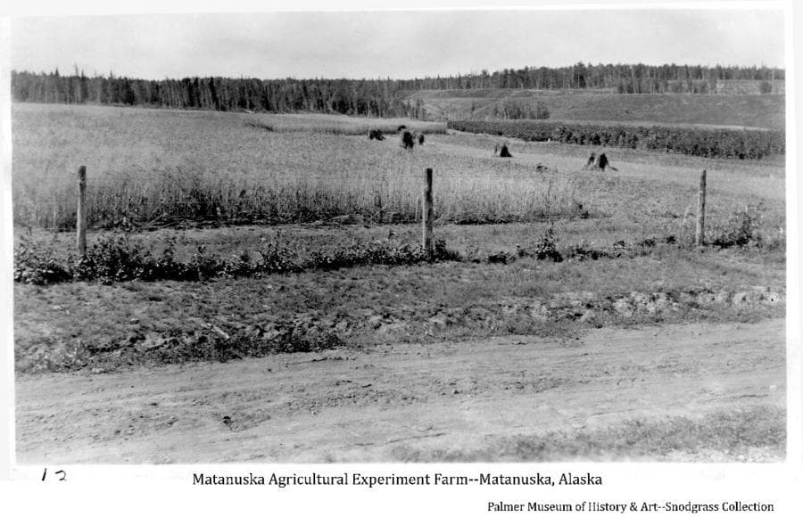 Image shows a partially harvested grain field with several grain shocks and a man at the edge of the standing grain, possibly cutting it by hand. A different grain plot appears beyond and plots of other plants, possibly berries, are evident in the middle ground. A bluff and forest are in background.