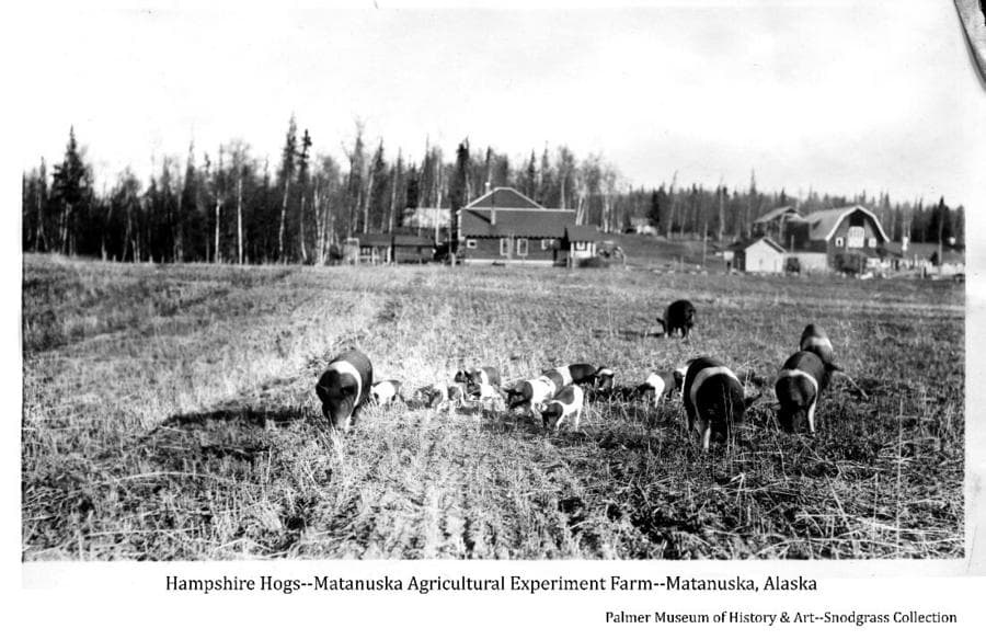 Image shows several Hampshire hogs and piglets in a stubble field with buildings of the Matanuska Agricultural Experiment Farm in far middle ground and forest beyond.