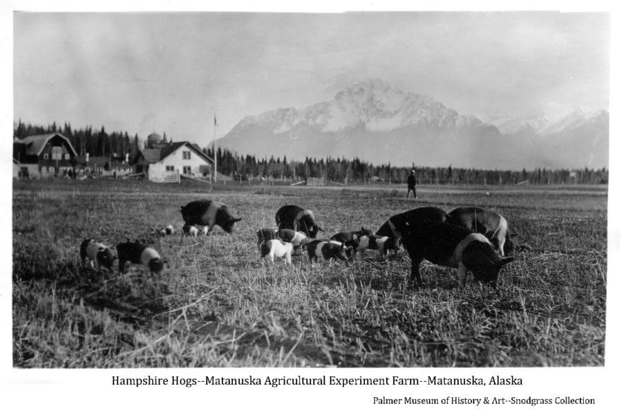 Image shows several Hampshire hogs and piglets in a stubble field with buildings of the Matanuska Agricultural Experiment Farm in far middle ground and forest beyond and mountains in background. A man is evident walking in the field in middle ground.