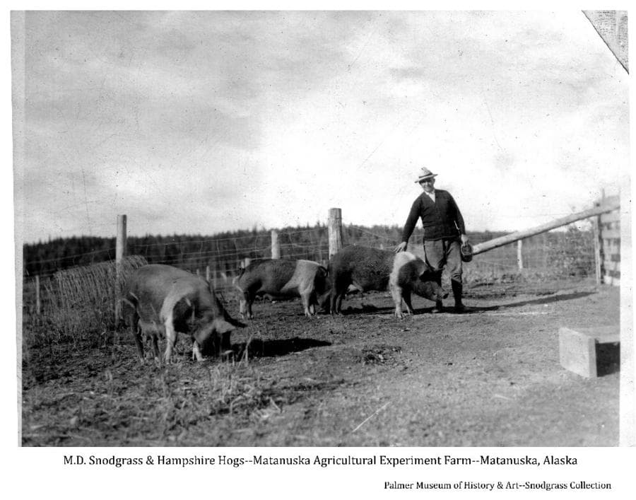 Image shows Experiment Farm director M.D. Snodgrass standing in a fenced enclosure with three Hampshire hogs. A forested hill is in background.